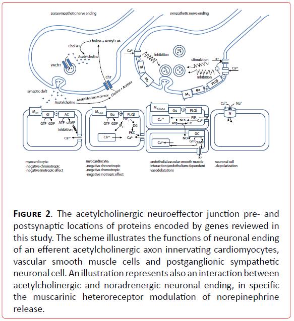 archivesofmedicine-noradrenergic-neuronal